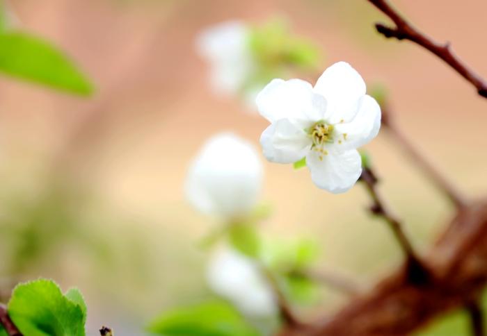 【镜头】吐鲁番:深秋杏花二度开
