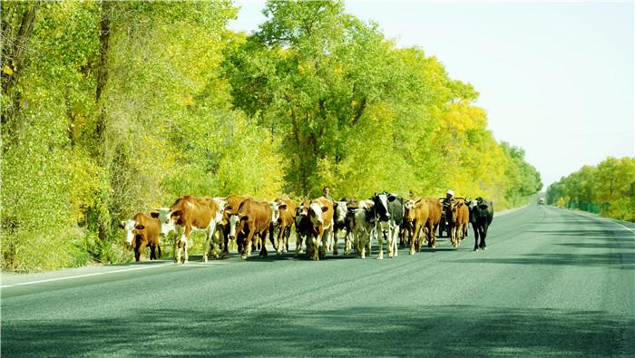 5.位于塔克拉玛干沙漠腹地深处的且末县,牧民们哼着小曲悠哉地在胡杨的波光里赶着牛儿,好一幅美丽安和的画卷。(新疆维吾尔自治区且末县 季解放 摄).jpg